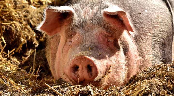 Photograph of a pig by Alexas_Fotos from Pixabay
