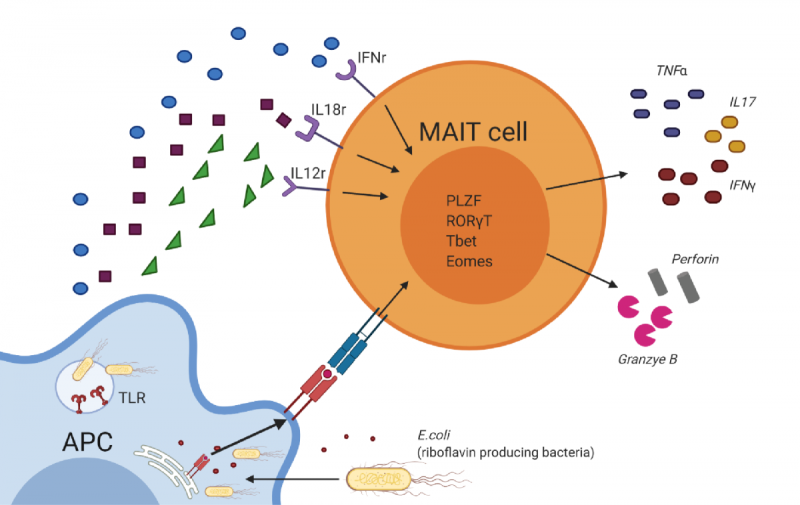 MR1 tetramer identification of MAIT cells